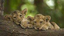 Desert Lions show