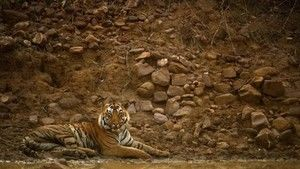 Tiger Jungles photo