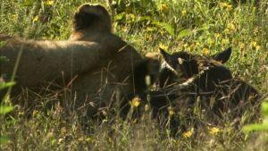 Die ungewöhnliche Rettung des Gnu-Babys Foto