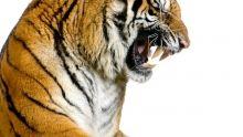 Foto's grote wilde katten Programma