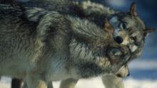 Galerie photos la vallée des loups Voir la fiche programme