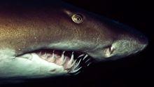 Shark Madness show