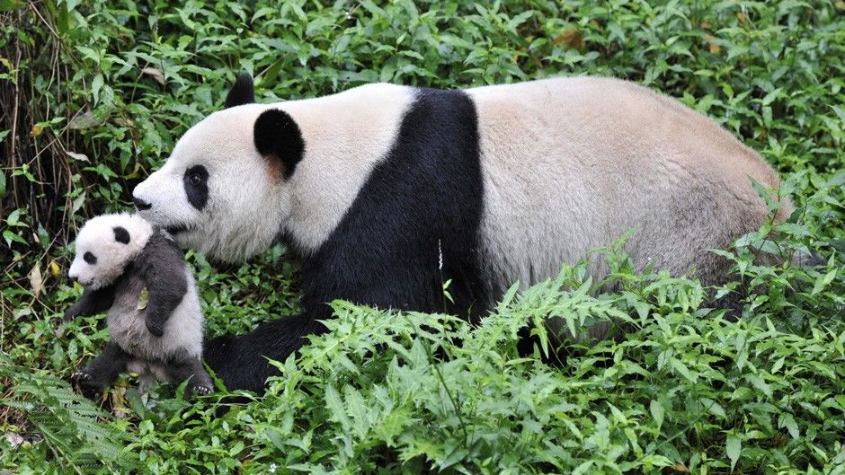 giant panda in the wild video