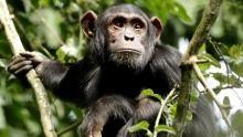 Wild Apes show