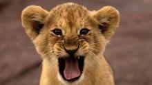 Lion Cub Survival show