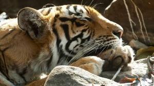Magnifieke tijgerinnen Foto
