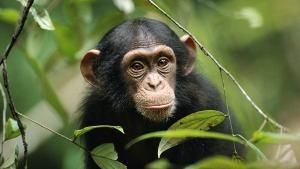 Baby Apes photo