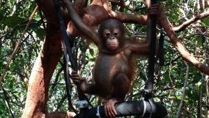 Baby Orangutans photo