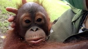 Baby Orangutans photo