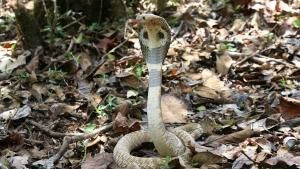 King Cobra photo