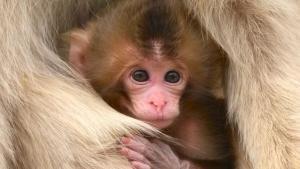 Les macaques japonais photo