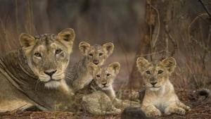 Desert Lions photo