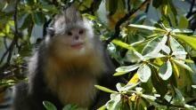 Chinese Snub Nosed Monkey show
