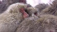 Snow Monkeys show
