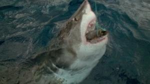 هجوم القرش صورة