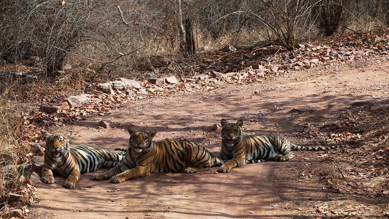 Foto di la terra della tigre la leggenda delle tigri for Disegni delle tigri