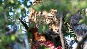 La maestosità del leopardo foto