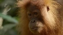 Furry Orangutans show