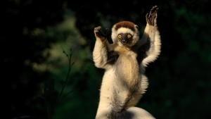 Lemuri all'attacco! foto