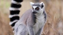 Ring-tailed Guys show