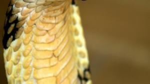الأفاعي الأكثر خطورة في العالم صورة