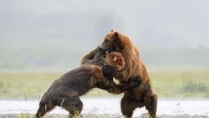 الدب الأشيب والغواناكو والخنفساء صورة