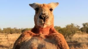 Kangaroo Portraits photo