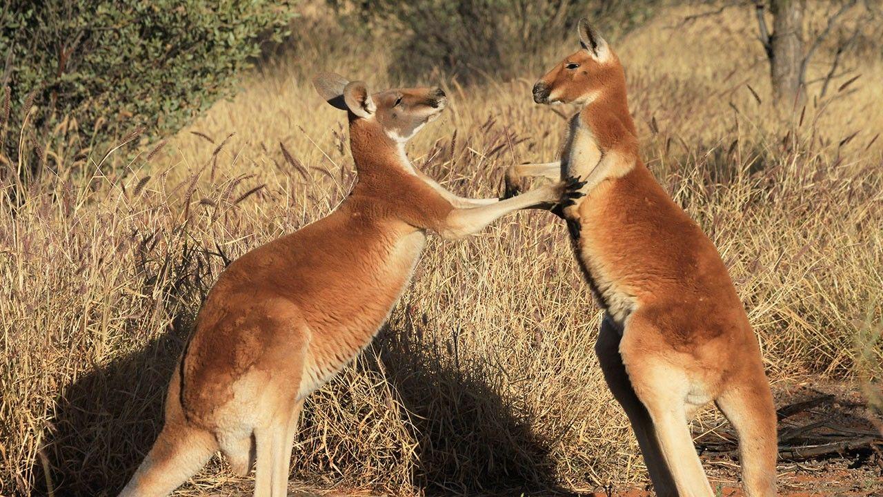 Kangaroo Portraits
