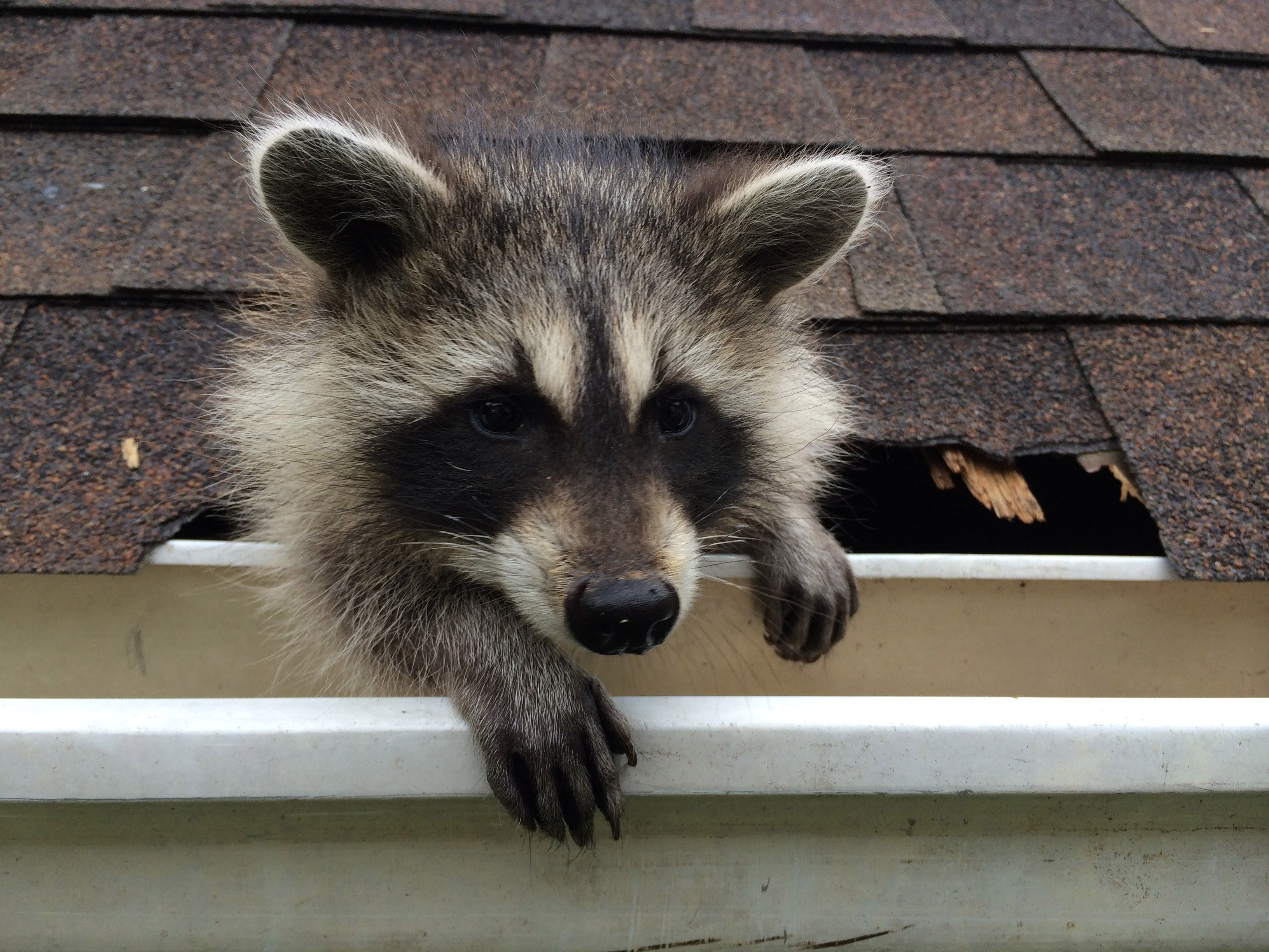 raccoon backyard bandit photos destination wild national