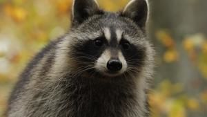 Raccoon: Backyard Bandit photo