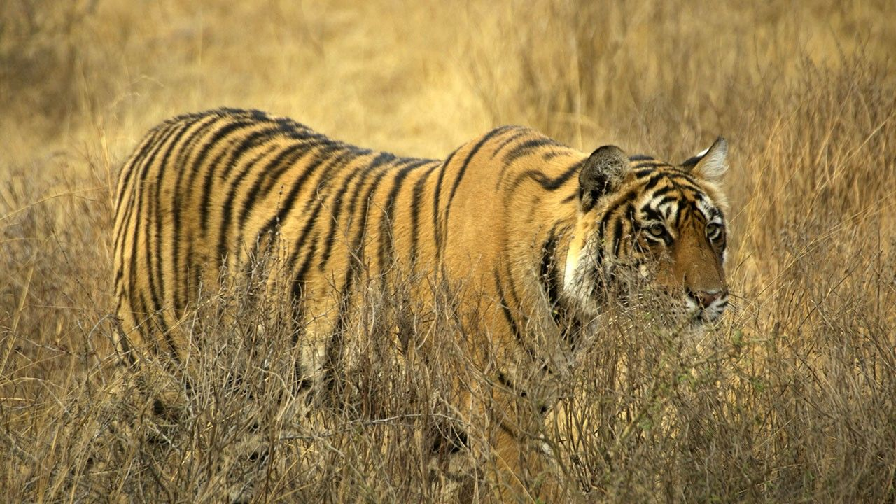 characteristics of the majestic tiger National animals of asian countries both india and bangladesh share the majestic bengal tiger as the national animal and other noteworthy characteristics.