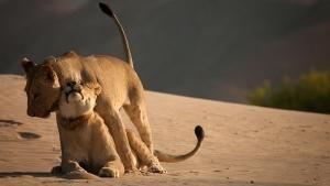Survivor Lions 照片