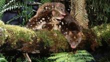 Wild 24: Tasmania: Devil's Island show