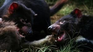 Wild 24: Tasmania: Devil's Island photo