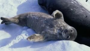 الحياة البرية في القطب الجنوبي صورة