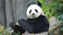 Pandas adorables Serie