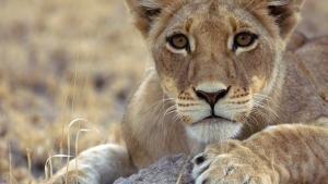 Wild Cats photo