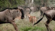 La belleza letal de los guepardos Serie