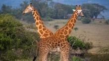African Giraffes show