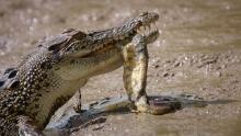 Big Crocs show