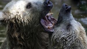 خرس های گریزلی،گواناکو  ها، سوسک ها عکس