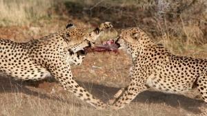 Warthogs, Hippos, Mongoose photo