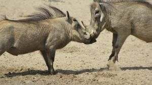 Warthogs, Hippos, Mongoose photo