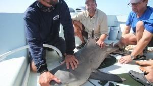 River Shark photo