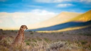 Majestic Cheetah photo