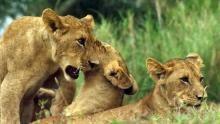 تولد دوباره ی حیات وحش آفریقا برنامه