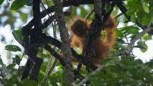 Orangutan On The Edge show