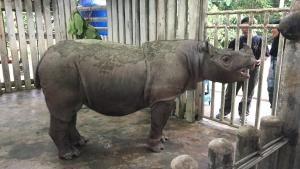 عملية وحيد قرن سومطرة صورة
