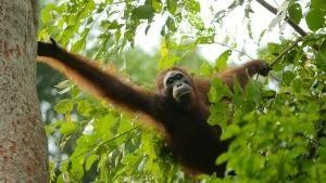 قرود الأورانغوتان المهددة بالانقراض صورة