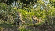 Mother Jaguar show